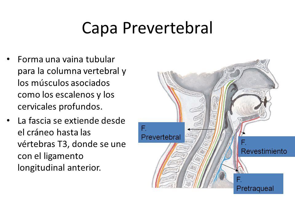 Capa Prevertebral Forma una vaina tubular para la columna vertebral y los músculos asociados como los escalenos y los cervicales profundos.