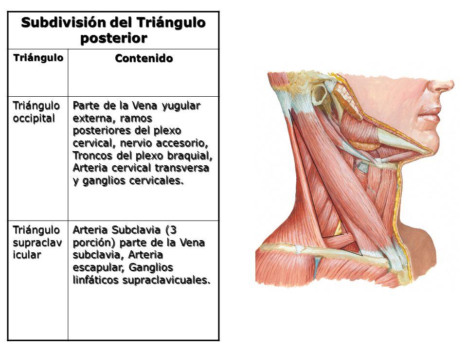 Subdivisión del Triángulo posterior