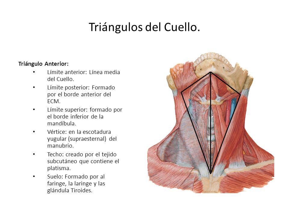 Triángulos del Cuello. Triángulo Anterior: