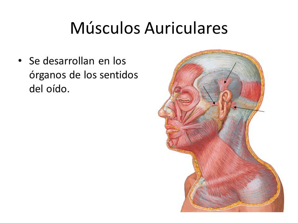 Músculos Auriculares Se desarrollan en los órganos de los sentidos del oído.