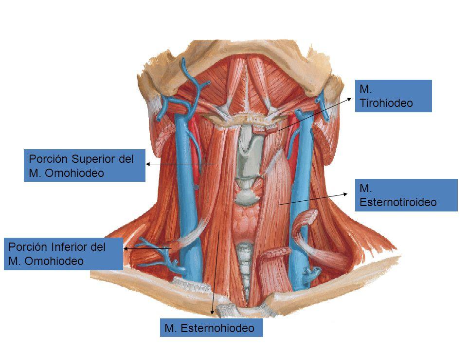 M. Tirohiodeo Porción Superior del M. Omohiodeo. M. Esternotiroideo. Porción Inferior del M. Omohiodeo.