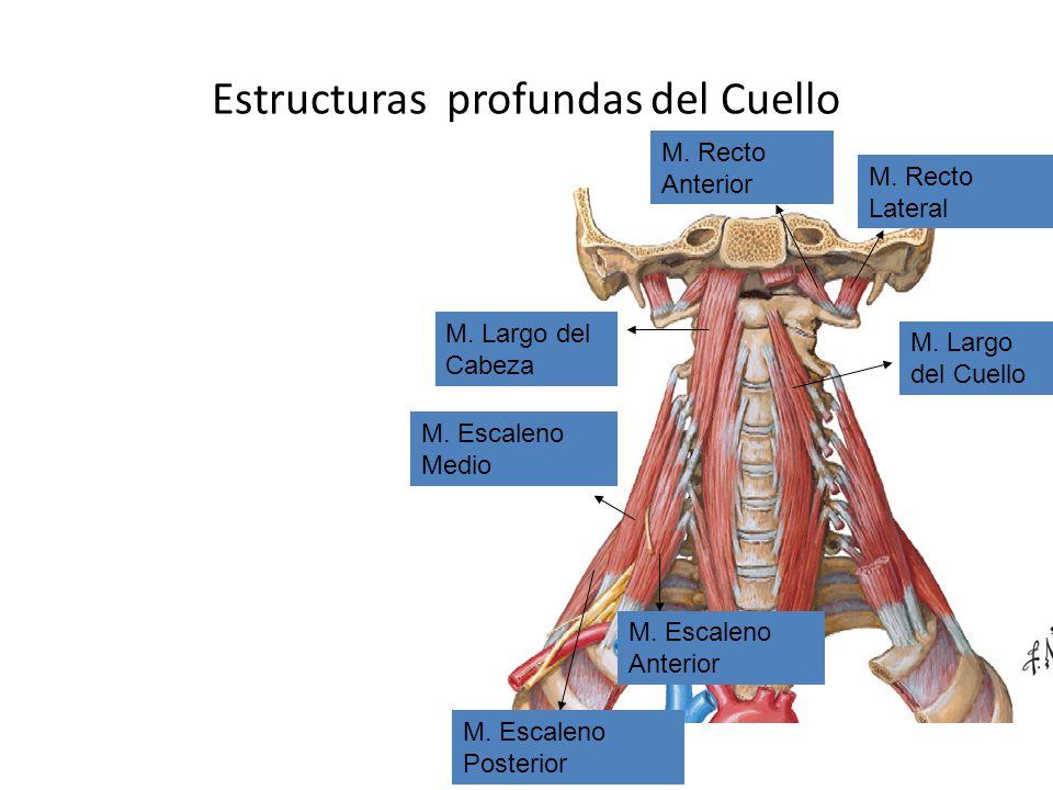 Estructuras profundas del Cuello