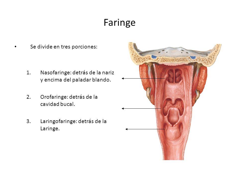 Faringe Se divide en tres porciones: