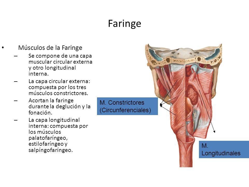 Faringe Músculos de la Faringe
