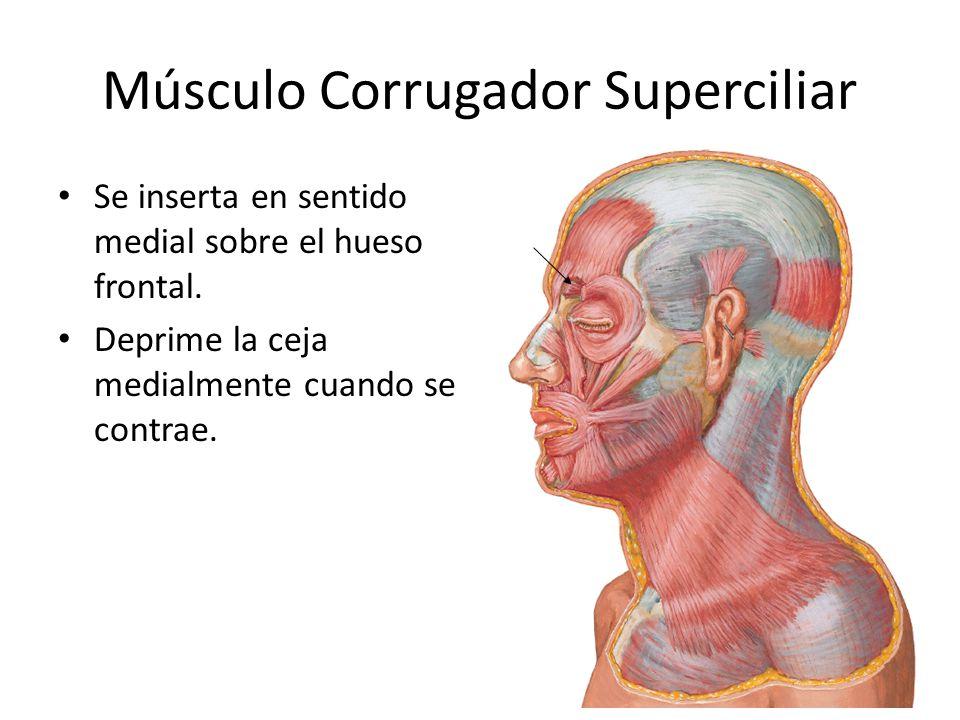 Músculo Corrugador Superciliar