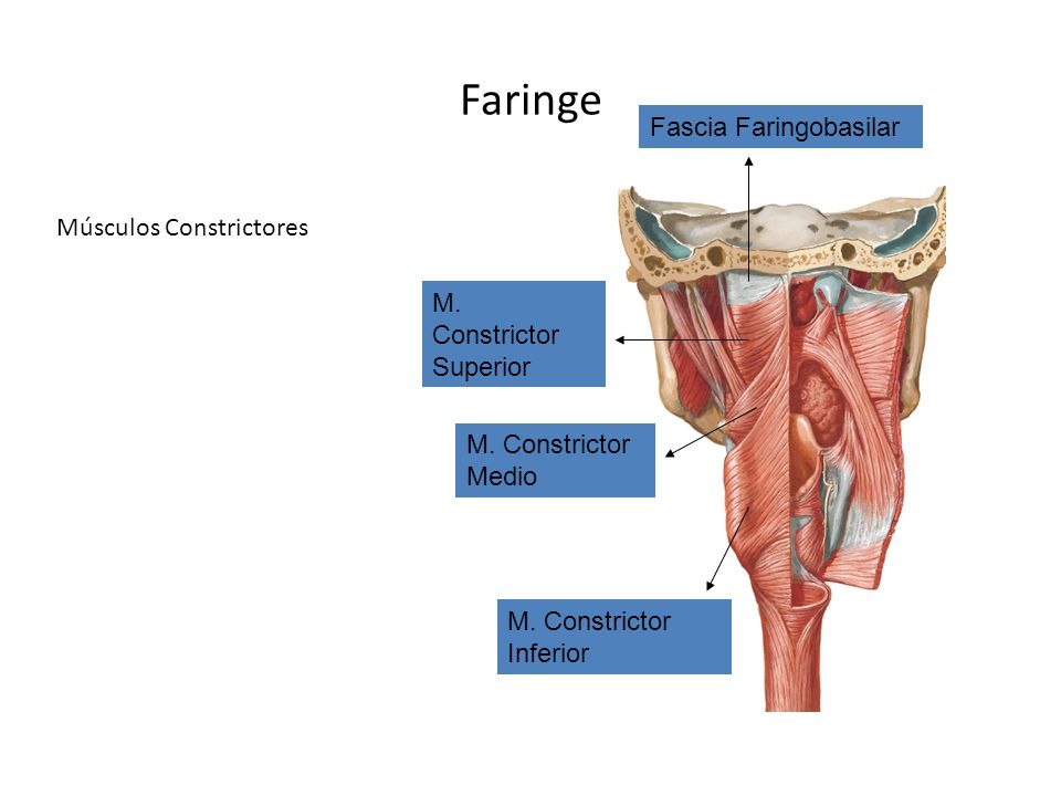 Faringe Fascia Faringobasilar Músculos Constrictores