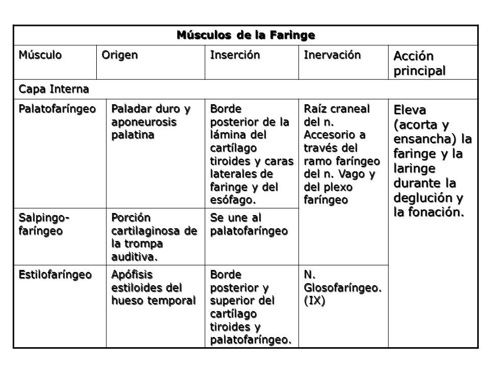Músculos de la Faringe Músculo. Origen. Inserción. Inervación. Acción principal. Capa Interna.