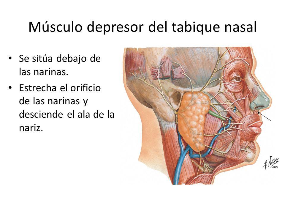 Músculo depresor del tabique nasal