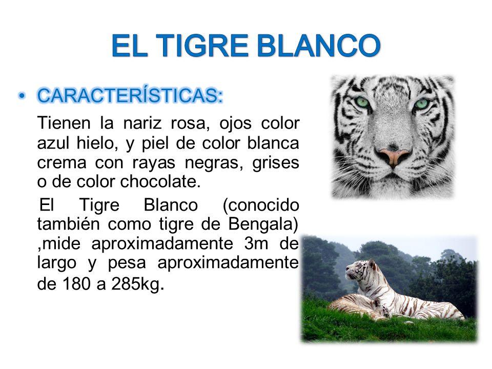 leon y tigre blanco - photo #19