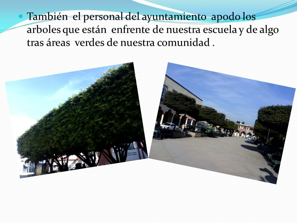 También el personal del ayuntamiento apodo los arboles que están enfrente de nuestra escuela y de algo tras áreas verdes de nuestra comunidad .