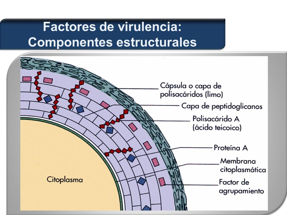 Factores de virulencia: Componentes estructurales