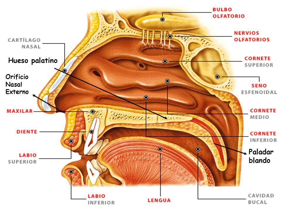 Fantástico Anatomía Vía Aérea Nasal Regalo - Anatomía de Las ...