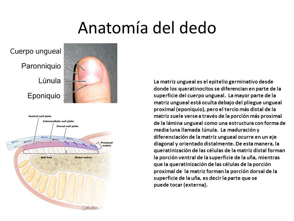 Encantador Anatomía De Los Dedos Colección - Anatomía de Las ...