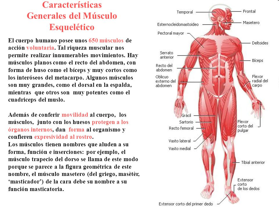 Sistema Muscular. - ppt video online descargar