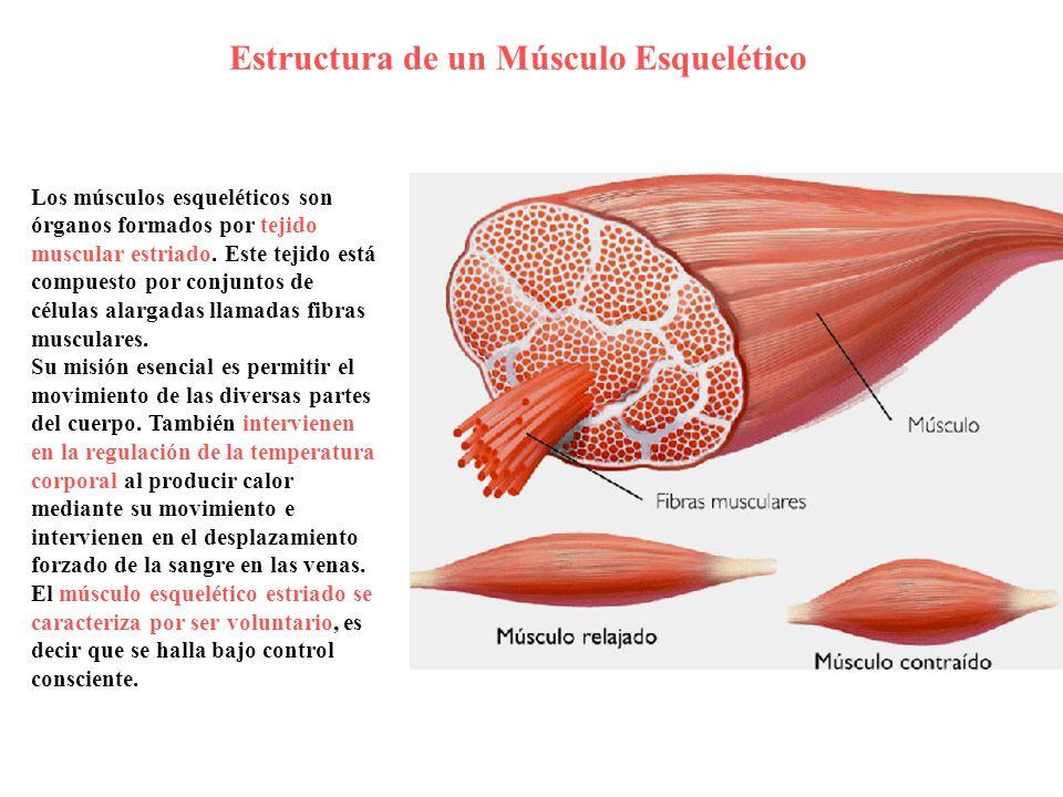 Fantástico Músculo Esquelético Imágenes Del Cuerpo Composición ...