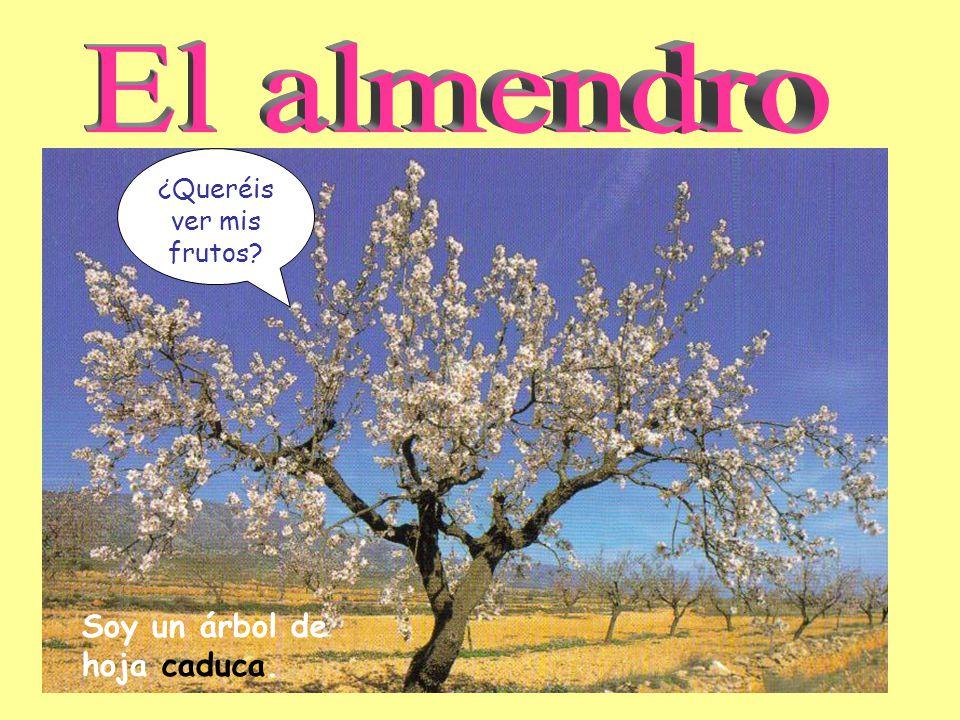 Las plantas clases de rboles clases el almendro de tallos for Ver fotos de arboles de hoja perenne
