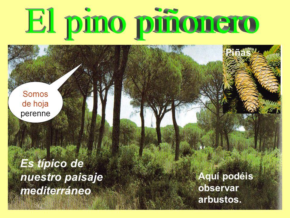 Las plantas clases de rboles clases el almendro de tallos for Arboles de hoja perenne para clima mediterraneo