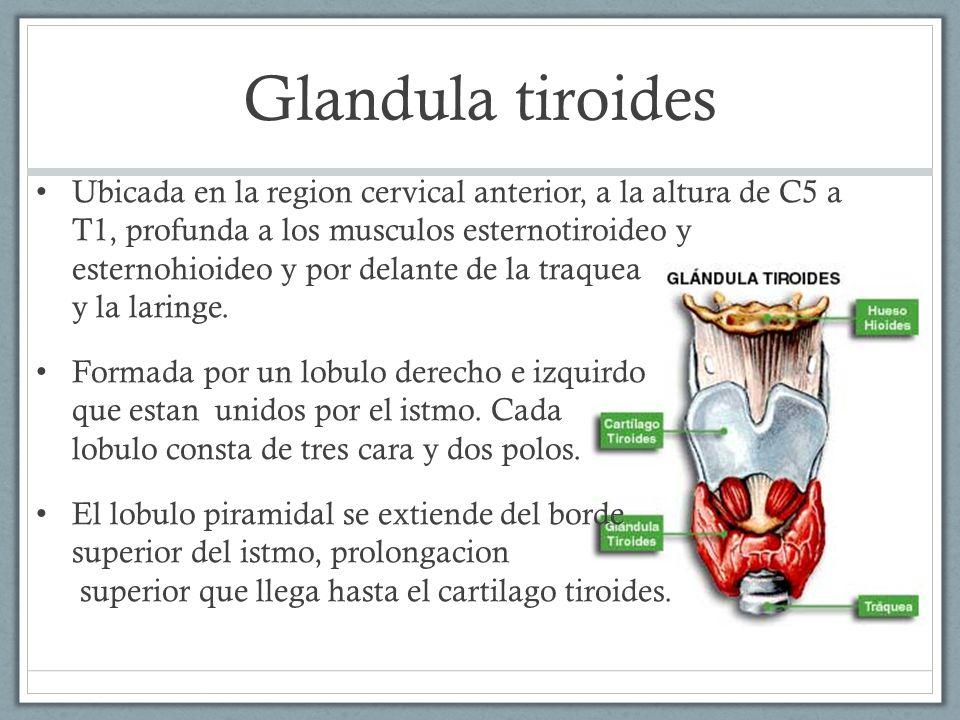 Por ada cuello y sharlyn campos calvo ppt video online for Esternohioideo y esternotiroideo