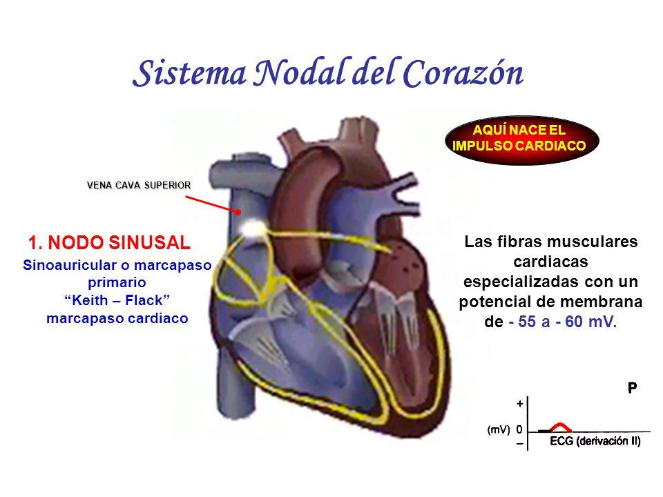 Asombroso Sistema Del Corazón Colección de Imágenes - Anatomía de ...