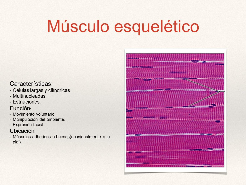 Músculo. - ppt video online descargar