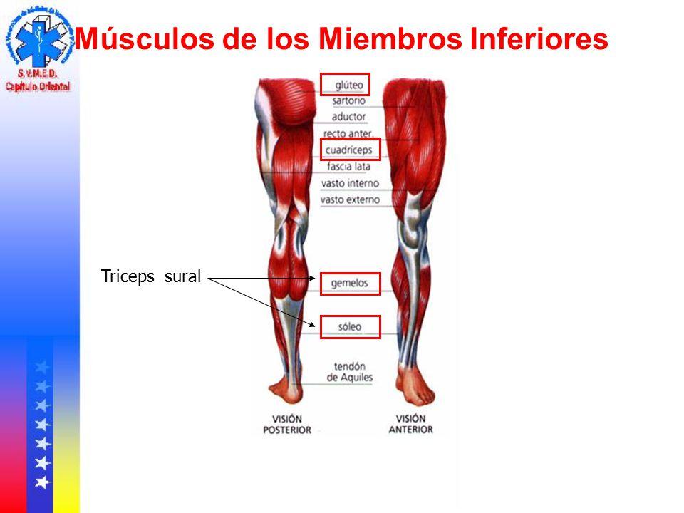 Musculos Del Miembro Inferior - Tracyengel.club