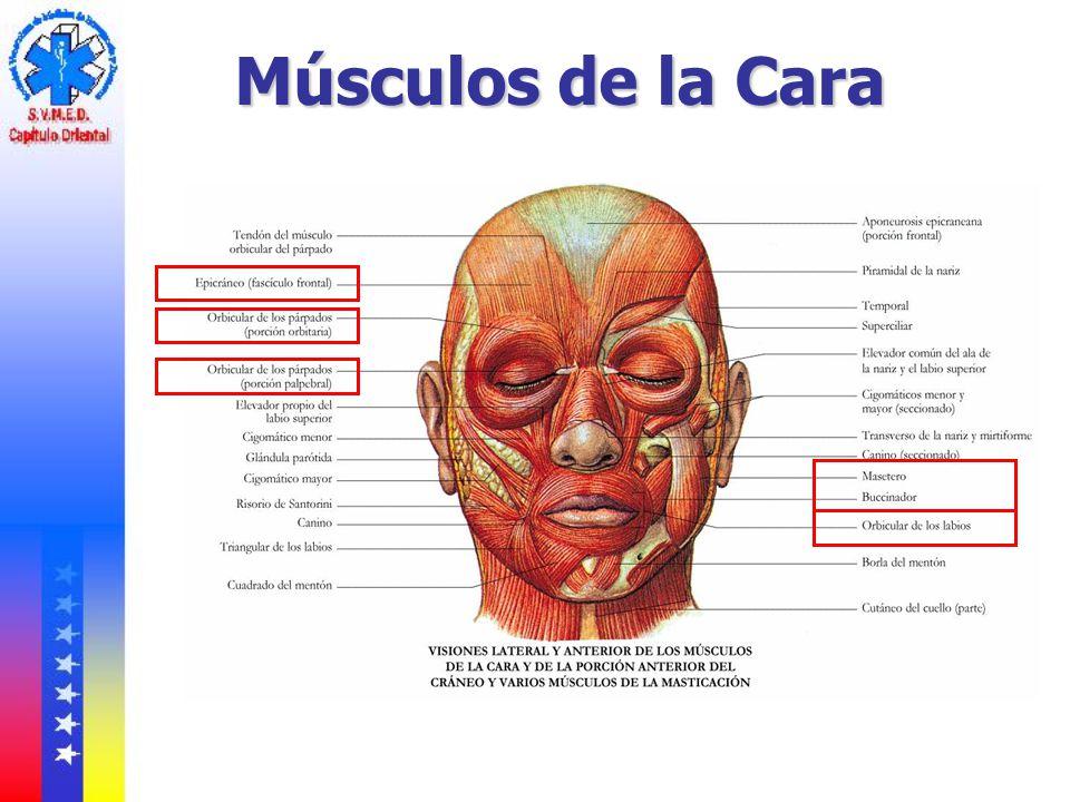 Famoso Músculos De La Cara Anatomía Inspiración - Anatomía de Las ...