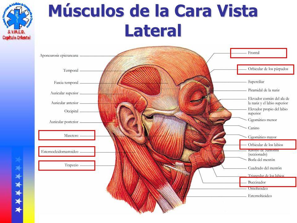 Musculos De La Cara - SEONegativo.com