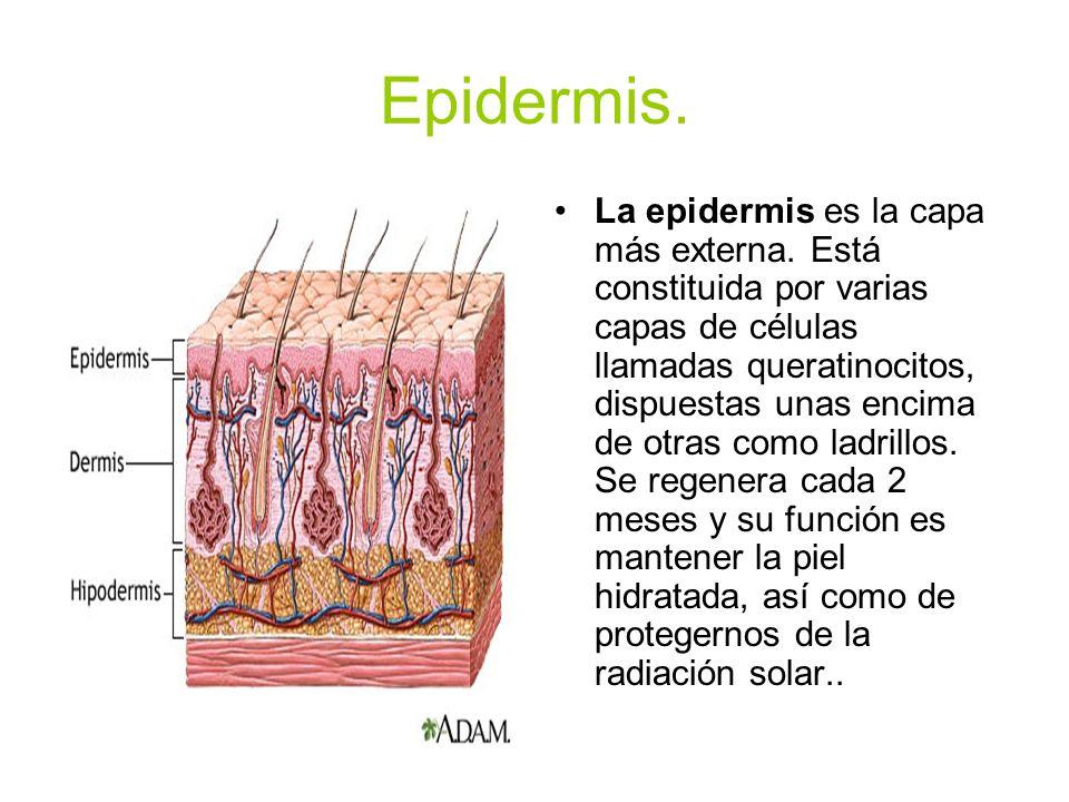 Epidermis.