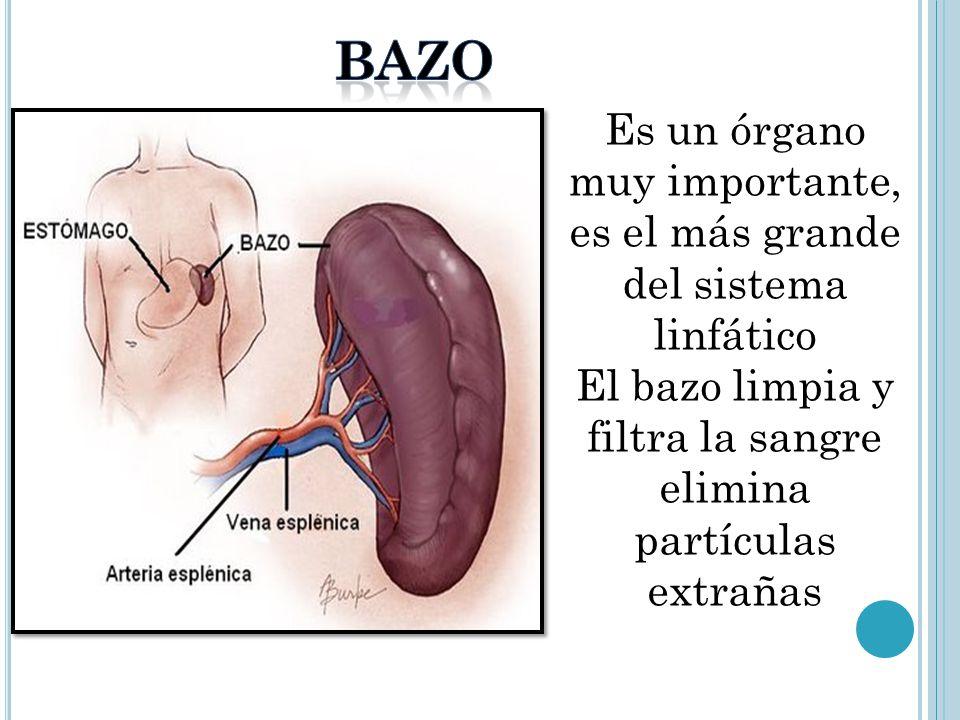 Increíble Ubicación Del Bazo Festooning - Anatomía de Las ...