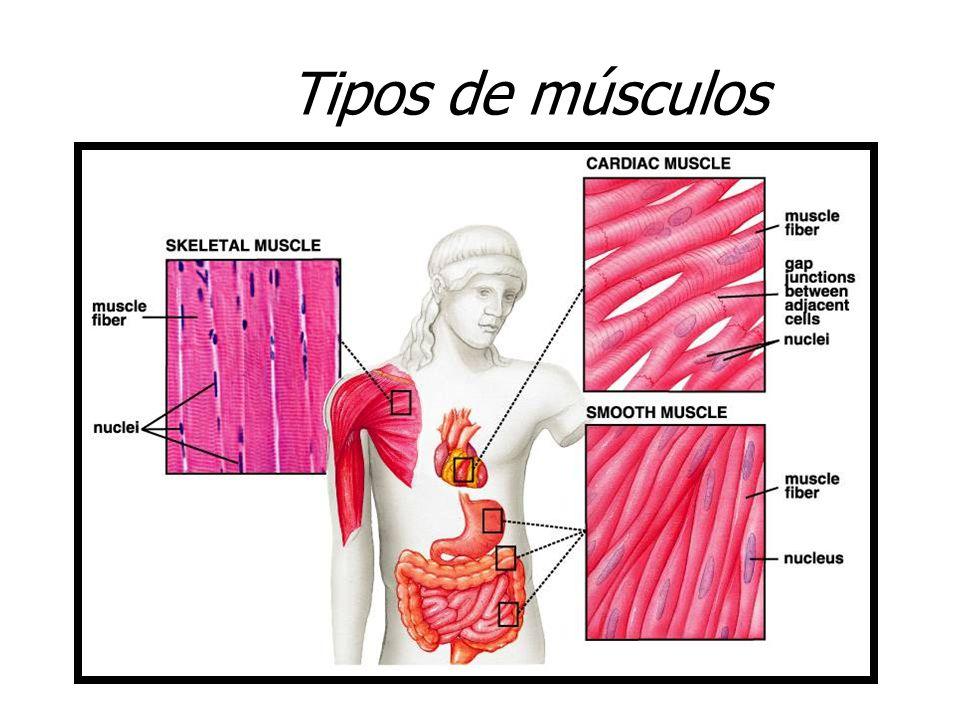 Moderno Tipos De Músculos Esqueléticos Composición - Imágenes de ...