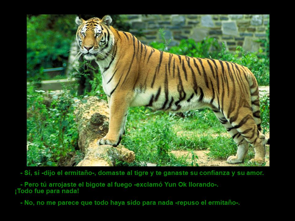 - Sí, sí -dijo el ermitaño-, domaste al tigre y te ganaste su confianza y su amor.