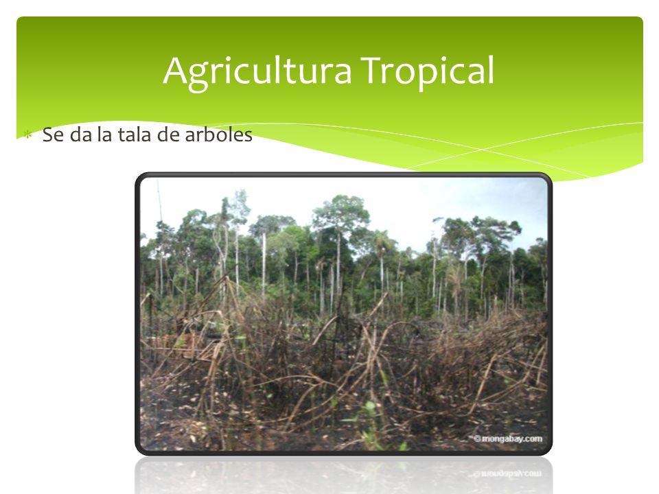 Agricultura Tropical Se da la tala de arboles