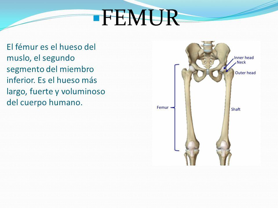 Hermosa Diagrama De Músculos De La Ingle Modelo - Imágenes de ...