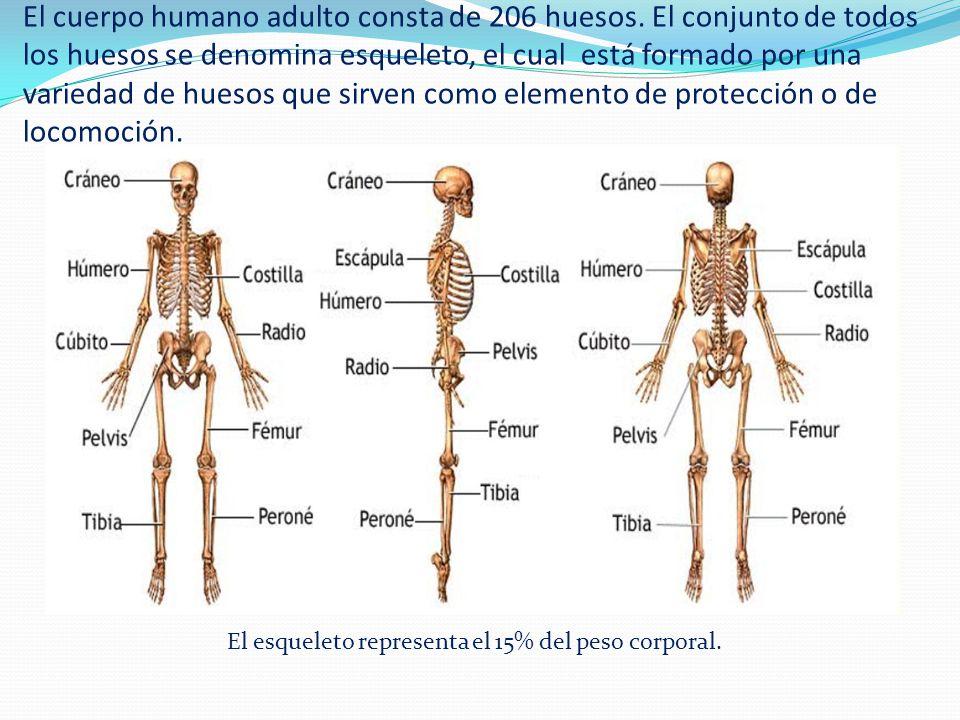 Lujoso 206 Huesos Del Diagrama De Cuerpo Friso - Anatomía de Las ...