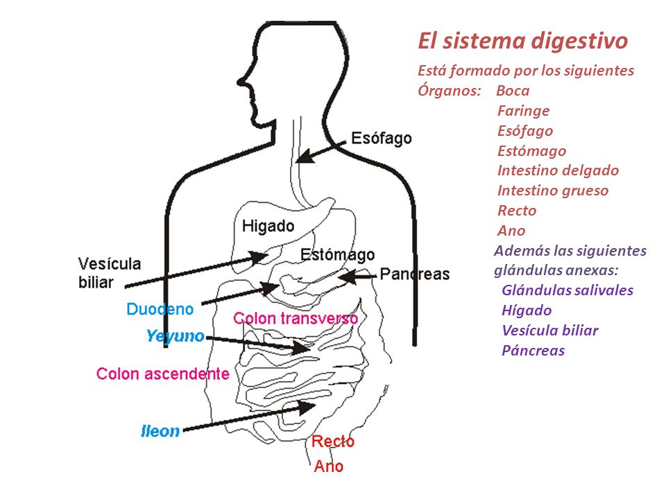 Magnífico Ubicación Del Sistema Digestivo Ideas - Imágenes de ...