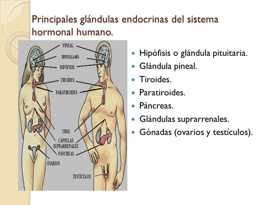 Principales glándulas endocrinas del sistema hormonal humano.