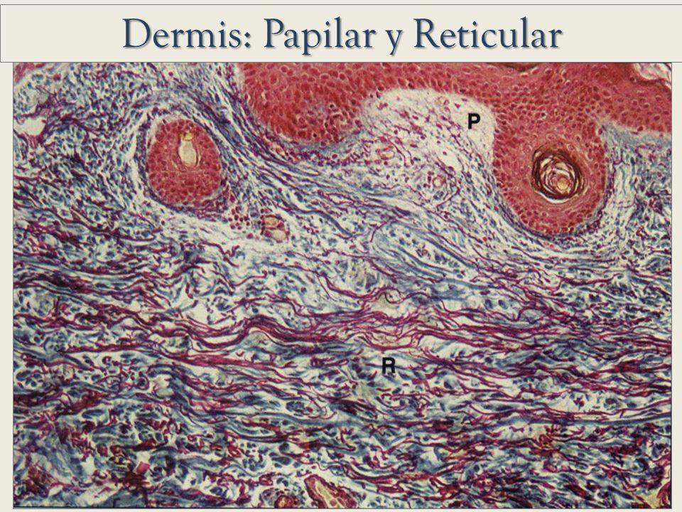 Dermis: Papilar y Reticular