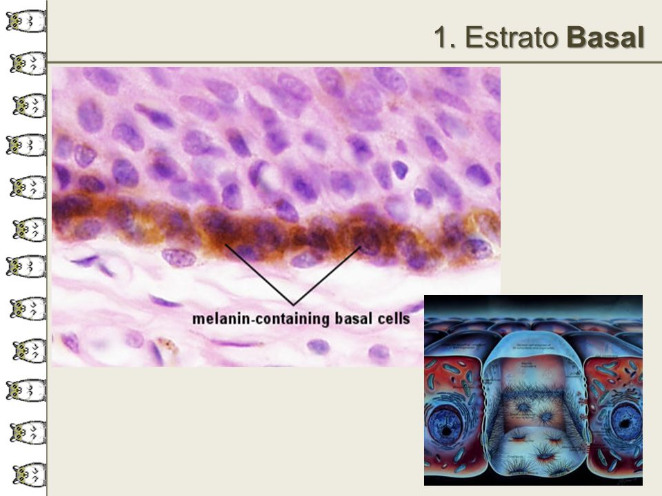 1. Estrato Basal