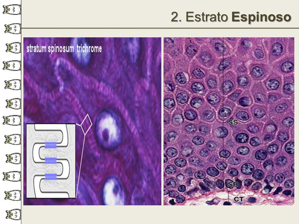 2. Estrato Espinoso