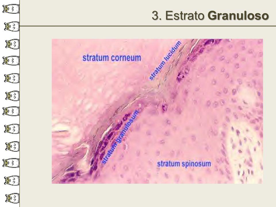 3. Estrato Granuloso