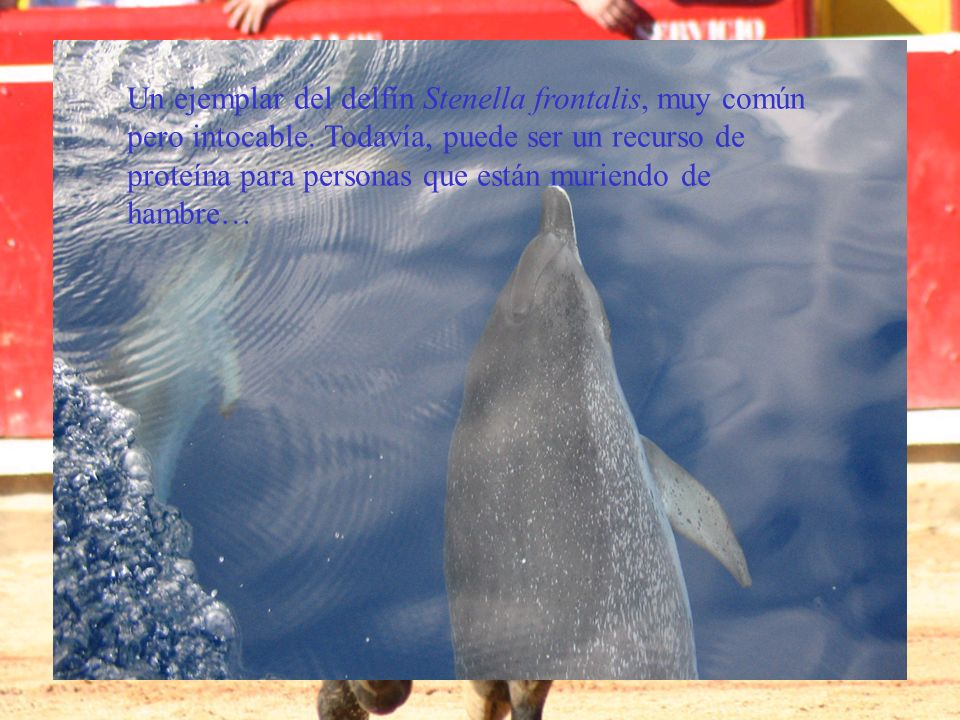 Un ejemplar del delfín Stenella frontalis, muy común pero intocable