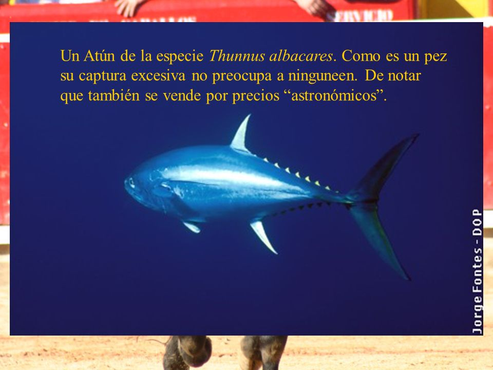 Un Atún de la especie Thunnus albacares