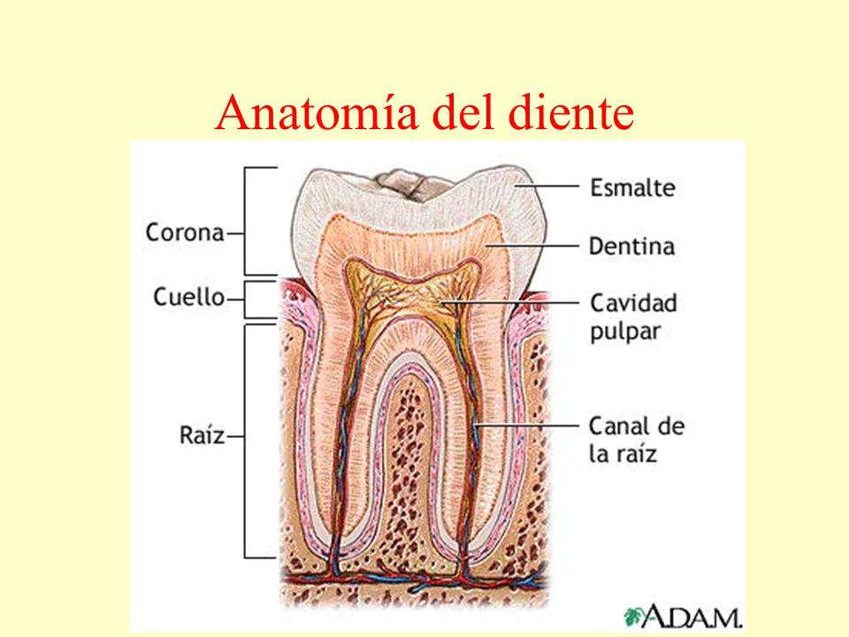 Fantástico Anatomía De La Raíz Del Diente Patrón - Anatomía de Las ...