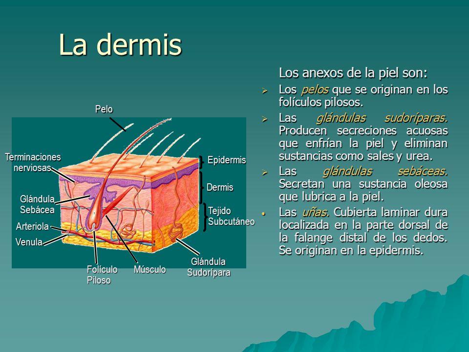 La dermis Los anexos de la piel son: