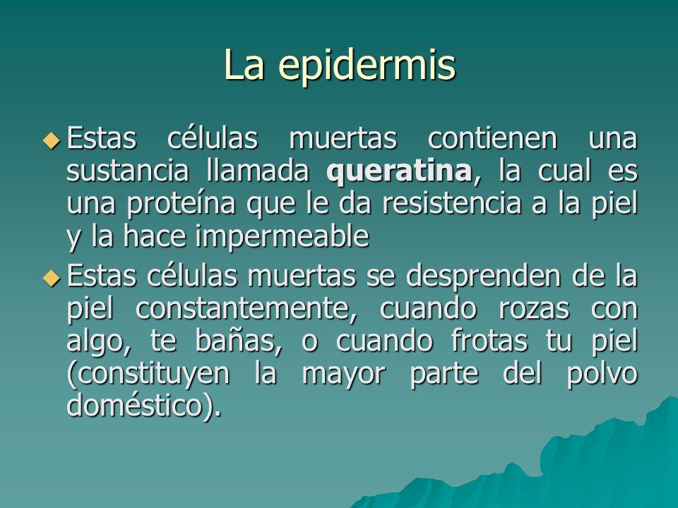 La epidermis