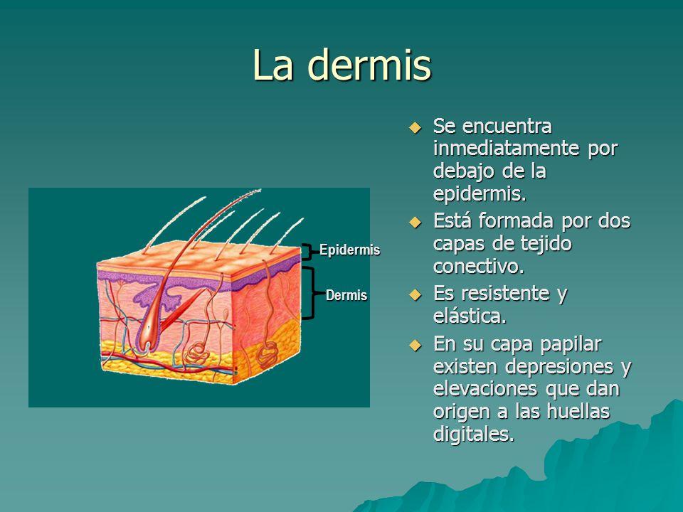 La dermis Se encuentra inmediatamente por debajo de la epidermis.