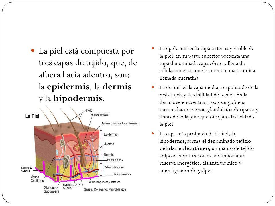 La piel está compuesta por tres capas de tejido, que, de afuera hacia adentro, son: la epidermis, la dermis y la hipodermis.