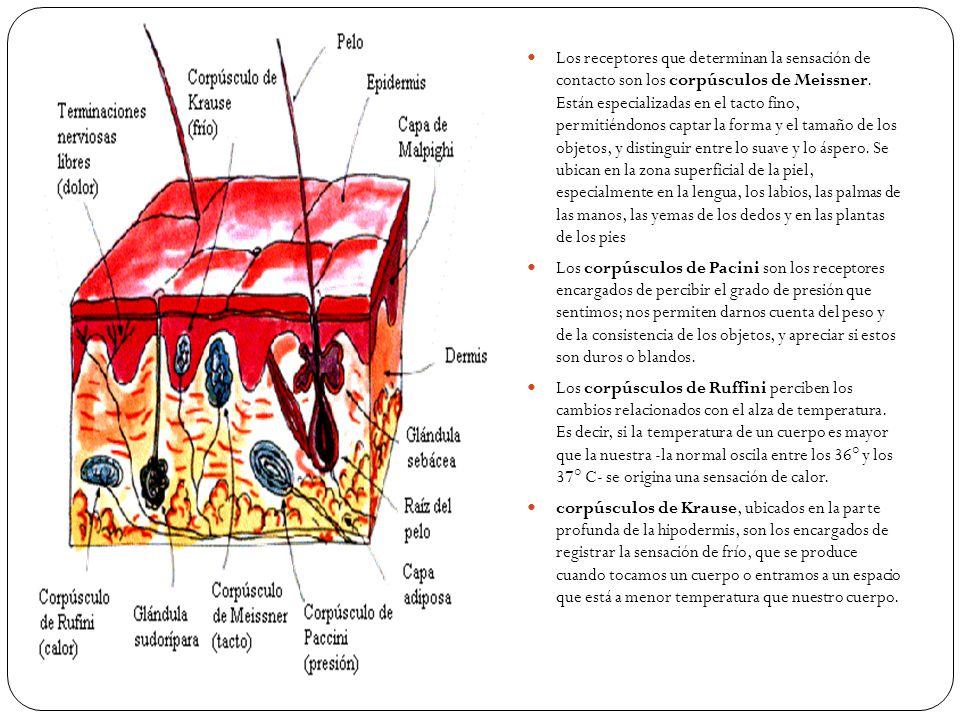 Los receptores que determinan la sensación de contacto son los corpúsculos de Meissner. Están especializadas en el tacto fino, permitiéndonos captar la forma y el tamaño de los objetos, y distinguir entre lo suave y lo áspero. Se ubican en la zona superficial de la piel, especialmente en la lengua, los labios, las palmas de las manos, las yemas de los dedos y en las plantas de los pies
