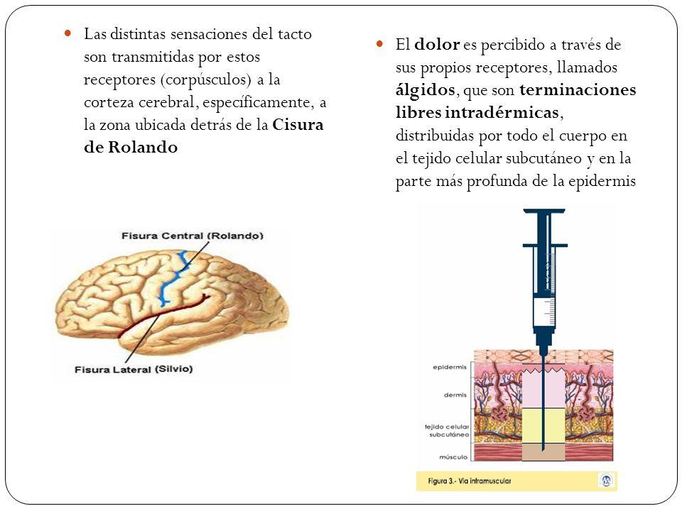 Las distintas sensaciones del tacto son transmitidas por estos receptores (corpúsculos) a la corteza cerebral, específicamente, a la zona ubicada detrás de la Cisura de Rolando