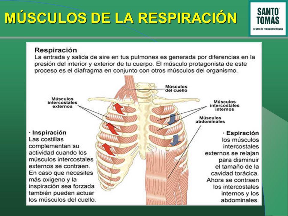 Magnífico Los Músculos De La Respiración Imágenes - Imágenes de ...